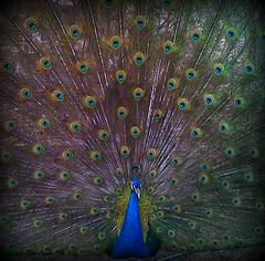 Pavo real / Peacock (EliGonz) Tags: real peacock pavo