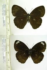 Forsterinaria rustica