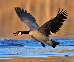 Canada Goose Happy Easter!! (JRIDLEY1) Tags: blue white black golden wings nikon searchthebest goose zenfolio rubyphotographer jridley1 jimridley photocontesttnc09 dailynaturetnc09 httpjimridleyzenfoliocom photocontesttnc10 lifetnc10 photocontesttnc11 photocontesttnc12