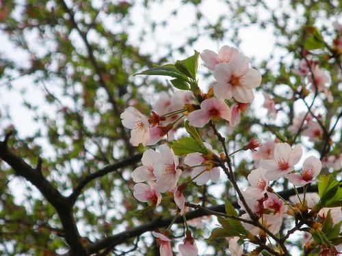 Cherry Blossoms @ Children's Grand Park