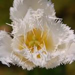 Distressed Tulip thumbnail