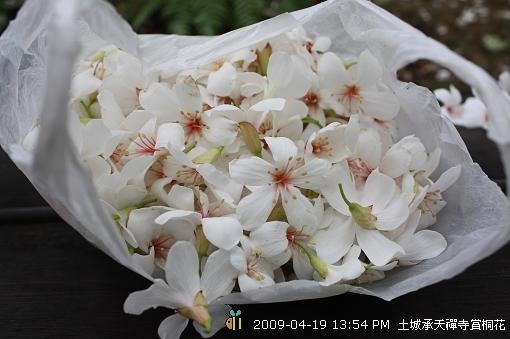 09.04.19 一探土城承天寺桐花花況 (12)