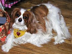 Abby (PJSherris) Tags: dog pet cute face puppy eyes king sweet adorable charles olympus spaniel cavalier lovely cavalierkingcharlesspaniel cav blenhiem ckcs olympusc4040z c4040z