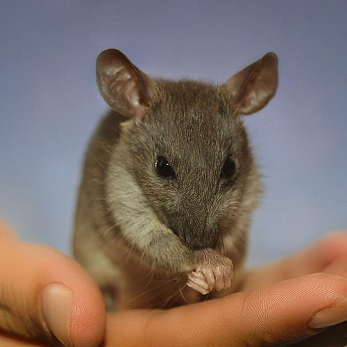 Rattus Rattus Wild Rats Brown Rat Roof Rat As Pets
