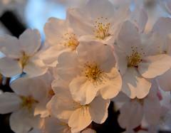 (lissajous) Tags: pink macro floral japan spring flora blossoms  sakura cherryblossoms 2009 gongendo k10d