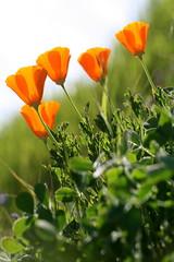 255/365 - 4/12/2009 (snelly23) Tags: california flowers orange sun green grass golden glow hill grow poppies 365 day254 flickrchallengegroup flickrchallengewinner