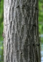 Net bark (:Linda:) Tags: germany thuringia tree netlike resembling similarto grey baumrinde baum frhling frhjahr trunk bark naturalpattern borke rinde treesinspring bumeimfrhling texture naturaltexture baumimfrhling