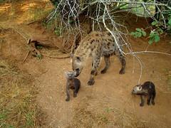 Hyena Cubs 2