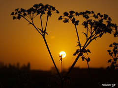 a new day (Roamer 57) Tags: nature sunrise golden olympus cowparsley fiatlux otw e420 platinumphoto vosplusbellesphotos qualitysurroundings updatecollection mostbeautifulpictures arkiesnaturegroup poalolivoronosfriends magicunicornmasterpiece