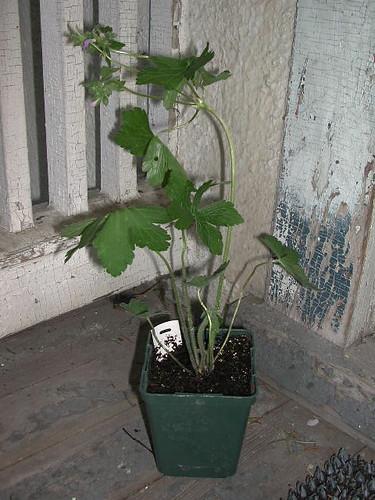 Geranium maculatum Wild Geranium