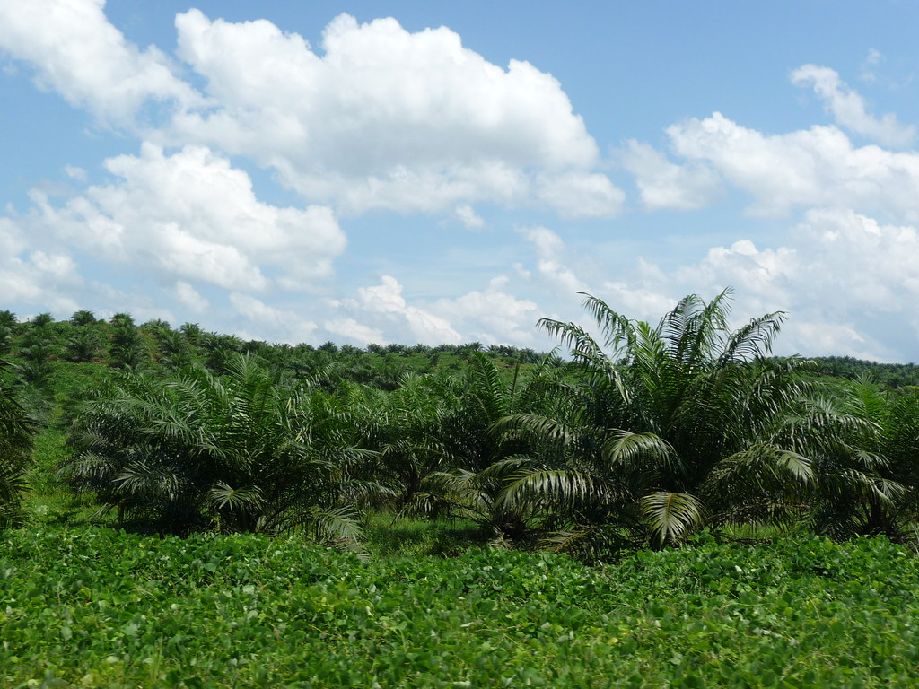 Palm Oil (7)