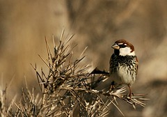 (AmirHosssein) Tags: male bird iran sparrow  birdwatching  spanishsparrow passerhispaniolensis bamu iranbird  bamunationalpark   iranbirdwatching