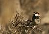 (AmirHosssein) Tags: male bird iran sparrow ایران birdwatching پرنده spanishsparrow passerhispaniolensis bamu iranbird پرندهنگری bamunationalpark گنجشکسینهسیاه پارکملیبمو iranbirdwatching بمو