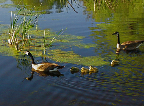 Geese family on parade