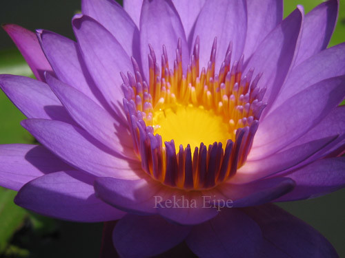 purple water lily - unedited
