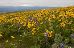 Mt. Hood From The Dalles Mt. Road (nwsteve) Tags: from road flowers mountains flower mt hood lupine dalles the klickitat arrowleafbalsamroot
