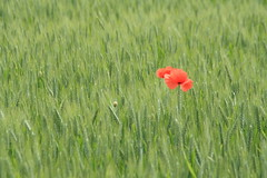 Poppies (Alessandra47 D.G.) Tags: red verde green country campagna poppies rosso papaveri alessandra47 canoneos1000d