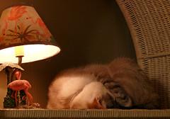Coconut Sleeping (BKHagar *Kim*) Tags: cats cat feline alabama kitty kitties fz50 panasoniclumix bkhagar