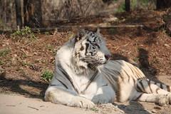 White Tiger (youta) Tags: park family wild vacation white zoo tour bears tiger korea korean lions theme liger gan everland