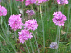 IMG_5868 (jennifer_g_horn) Tags: plants may 2009 armeria lizchristy