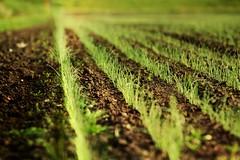 Onion breeding (W. Visser) Tags: holland breeding onion agriculture breed filed niederlande