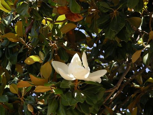 Magnolia in MV, CA, June 2009. Как вы понимаете, чтоб два раза не вставать :)