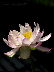 water lily... (mum49) Tags: waterlily pink white palepink delicate onblack stamens crisp clear pretty stalk reflections kewgardens london england awesomeblossoms beautifulphoto theunforgettablepictures flickrunitedaward platinumheartaward northstar