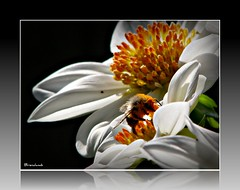 I know I'm a bit blurry, but I'm one very happy bee!! (brendamb - Brenda) Tags: dahlia orange white flower pollen bej frameit happybee perfectpetals citrit betterthangood theperfectphotographer excellentflowers dragongoldaward explorewinnersoftheworld exploreflowers kunstplatzlinternational theflowerbasket brendamb utstandingimages