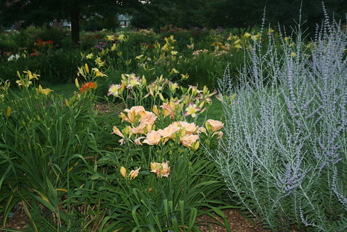 daylilies and Russian sage
