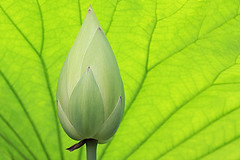 Lotus Flower Bud - IMG_8521 (Bahman Farzad) Tags: flower macro yoga peace lotus relaxing peaceful meditation therapy lotusflower lotusflowers lotuspetal lotuspetals lotusflowerpetals lotusflowerpetal
