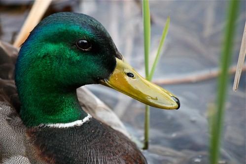 Mallard by Shiny Dewdrop