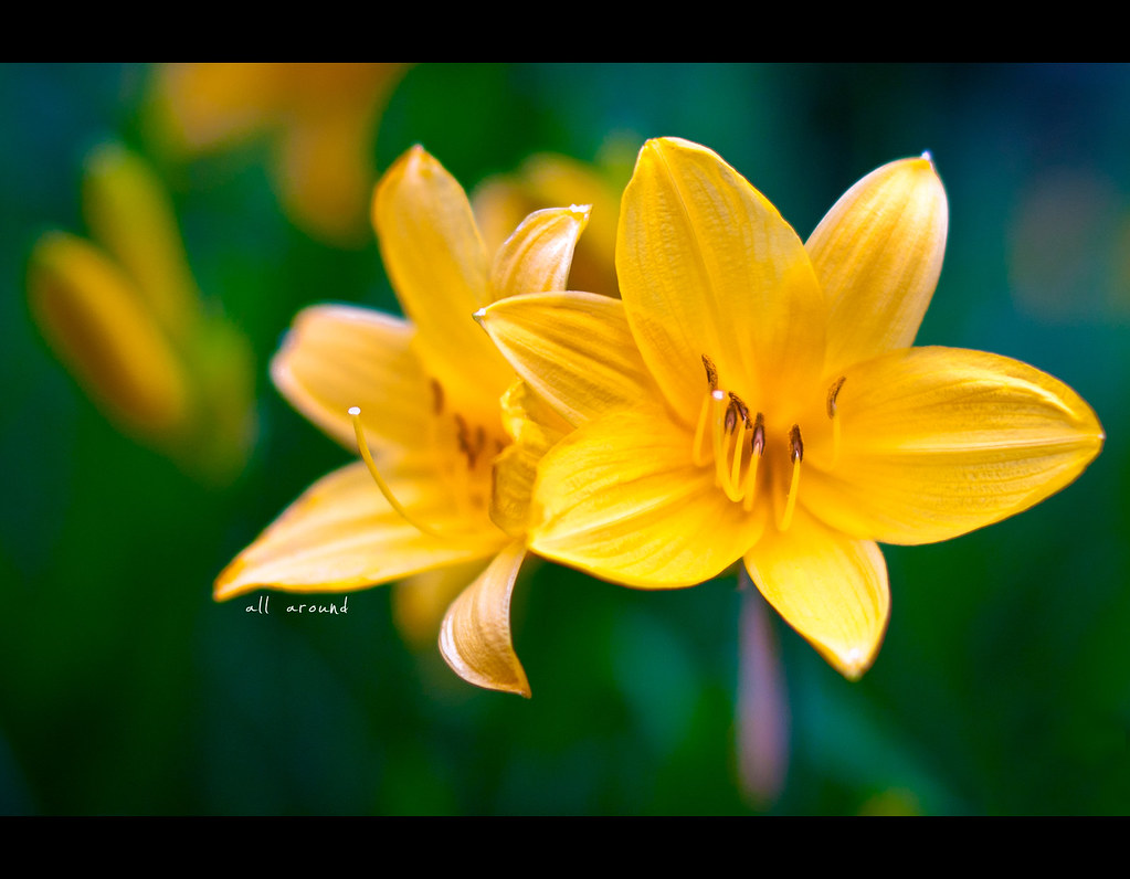 Project 365, Bokeh, Sigma 50mm F1.4 EX DG HSM, yellow, flower, green, close up,