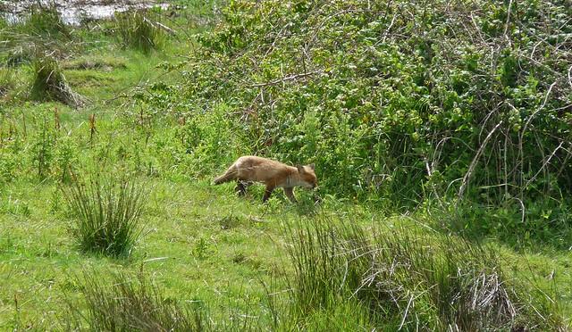 24490  - Fox, WWT Llanelli