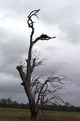 P1060511 (heatherBB) Tags: eaglesnest crow clarencerivernsw