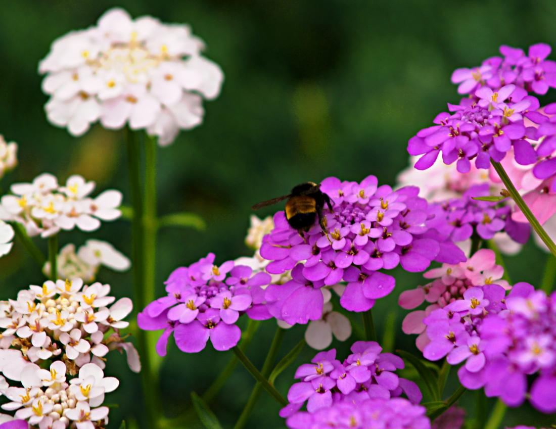 Candytuft bumblebee