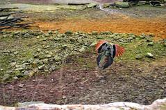 Pfau V (Michael Döring - thx for 20.000.000 views) Tags: zoo bismarck gelsenkirchen d300 pfau pavocristatus phasianidae zoomerlebniswelt afs2470 michaeldöring