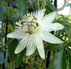ConstanceEliott1 (jayme_blaschke) Tags: passiflora