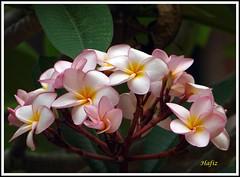 Pink Frangipani - Plumeria (YIM Hafiz) Tags: flowers plants plumeria frangipani srilanka araliya sonyh2 dhargatown