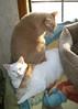 I Dreamed a Big Rock was on My Back! (Gail S) Tags: cats catsandwindows pinkyandthepuss pinkysitsonthepuss