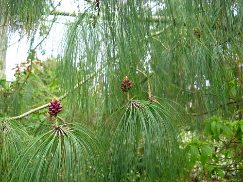 Pinus oaxacana