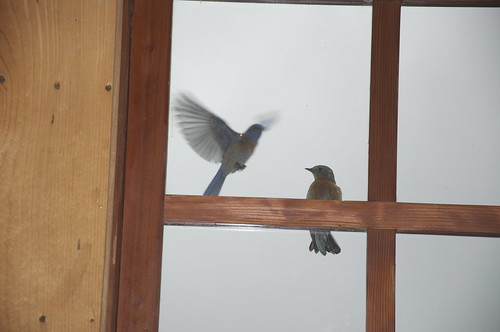 Early in the mornig, these barn swallows start tapping and flapping at the window of the loft.