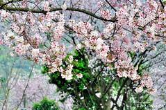 天元宮 櫻花祭