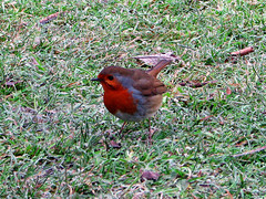 Robin in Clumber Park (v77col) Tags: robin clumberpark