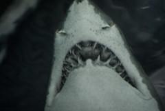 shark attack!!! (red wissel) Tags: shark teeth newportaquarium