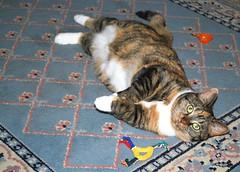 Gracie 8 January 2009 0021b 5x7 (edgarandron - Busy!) Tags: cats cute cat gracie tabby kitty tortoiseshell kitties felines tortie torbie
