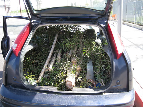 paperbark limbs in back of 2000 Ford Focus hatchback