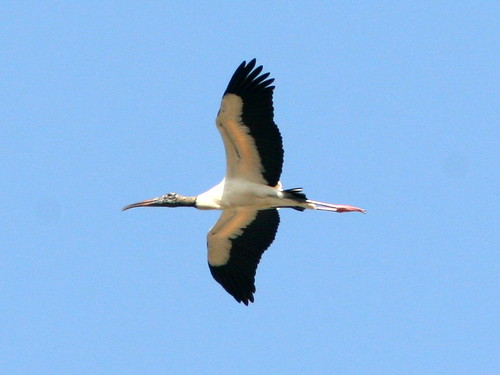 Wood Stork Over Eagle Nest 20090403