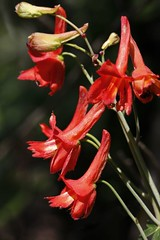 Canyon Delphinium (forestbloom) Tags: california ca red northerncalifornia april wildflowers cherokee wildflower delphinium ranunculaceae tablemountain oroville buttecounty delphiniumnudicaule canyondelphinium
