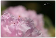 ... (Duru...) Tags: pink flower macro nature canon garden dof natural bokeh sigma botany bahe makro iek 105mm botanik duru doa pembe 400d enstantane