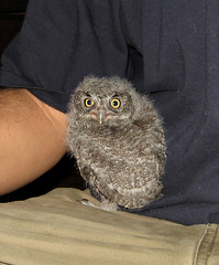 Junior - we rescue owls too :-) (Eldad Hagar (Please support Hope For Paws)) Tags: rescue losangeles wildlife animalrescue owl owls eldadhagar 100commentgroup hopeforpaws